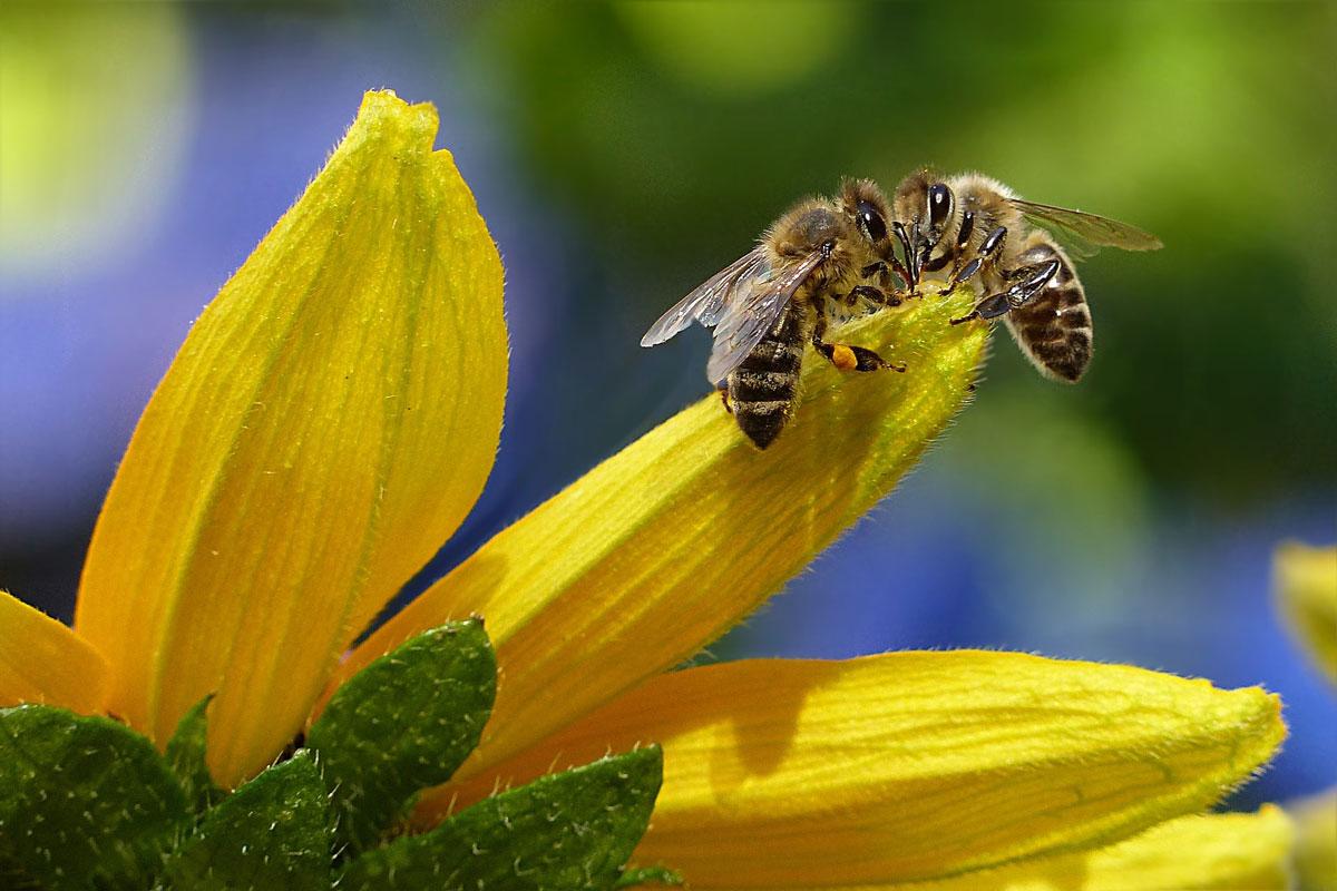 جمع آوری شهد عسل